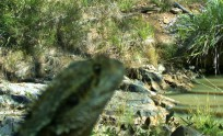 WATER DRAGON AT LITTLE CREEK WATERHOLE SEPTEMBER 2014