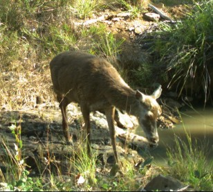 DEER AT LITTLE CREEK WATERHOLE SEPTEMBER 2014