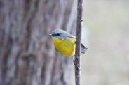 Yellow Robin Mum 2