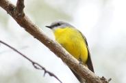Yellow Robin Mum 1