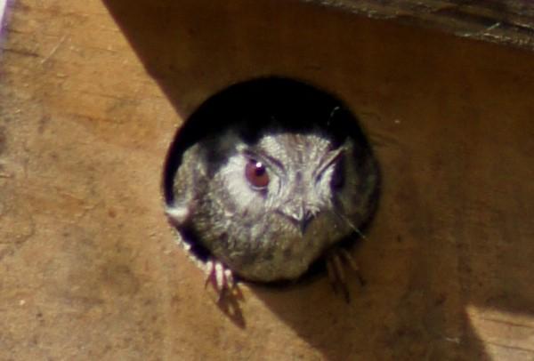 owlet-nightjar-close (2).jpg