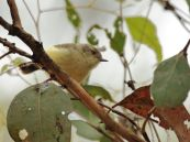 Buff-rumped Thornbill 1