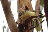 Buff-rumped Thornbill 2