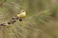 Buff-rumped Thornbill 3