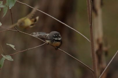Grey Fantail 1