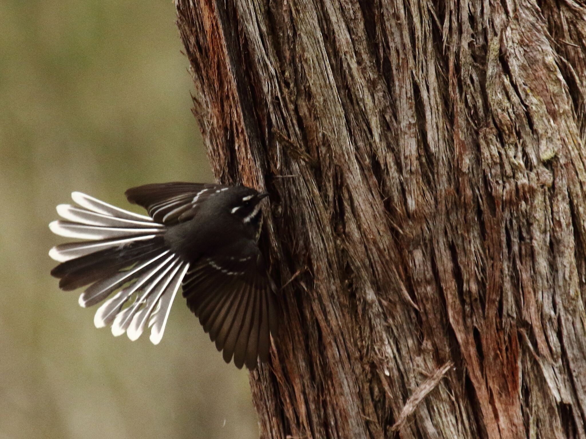 Grey Fantail 2