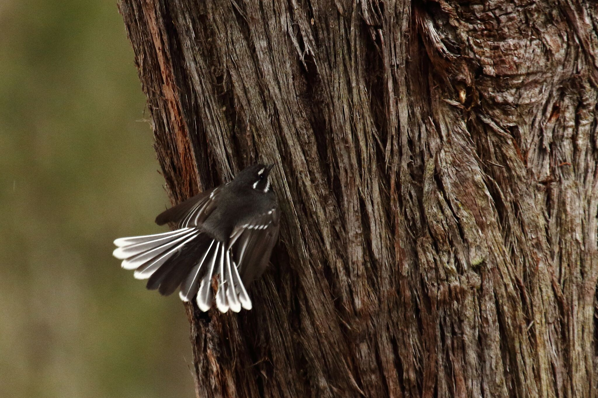 Grey Fantail 3
