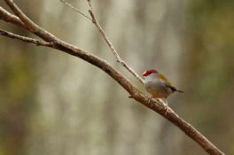 Red-browed Firetail Finch