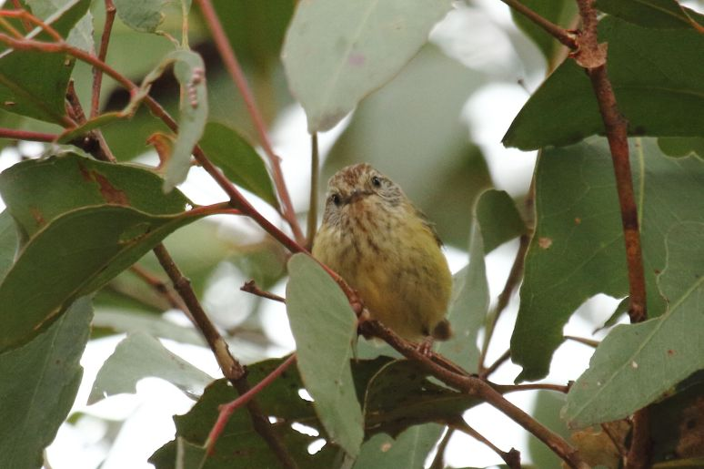 Striated Thornbill 1