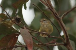 Striated Thornbill 2