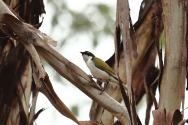 White-naped Honey Eater 1
