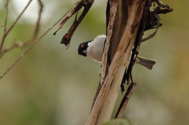 White-naped Honeyeater 2