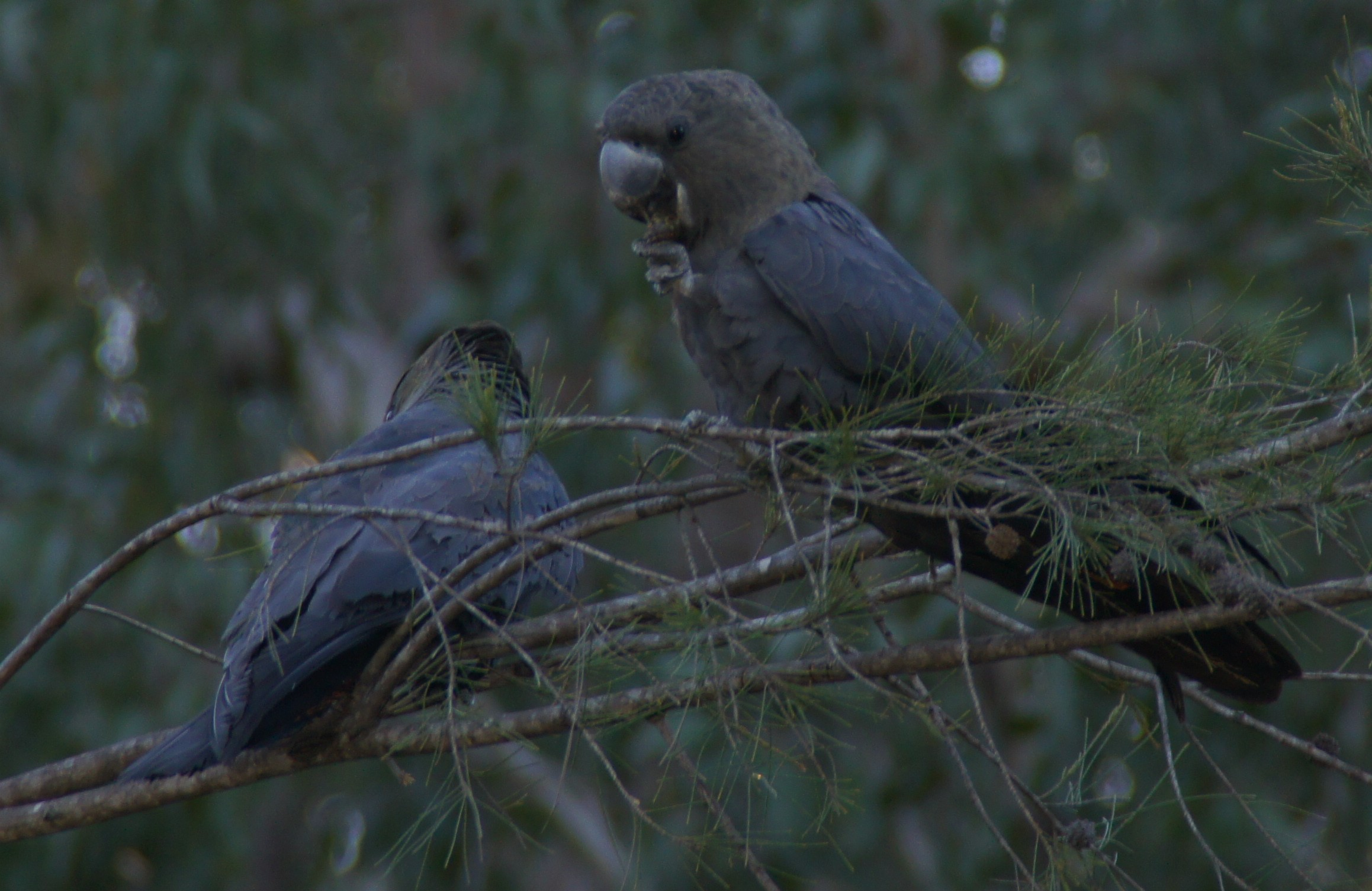 Glossy black cockatoos feeding on a black she-oak tree at Wordwood