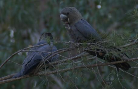 Glossy black cockatoos feeding on a black she-oak tree at Wordwood