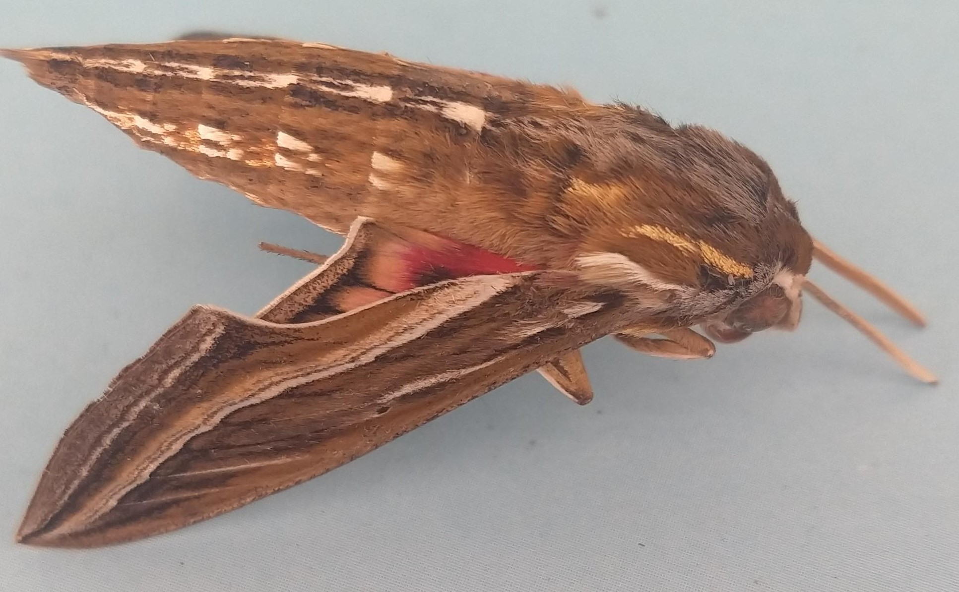 Vine hawk moth 2